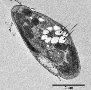 Synmikro PHB from algae cells
